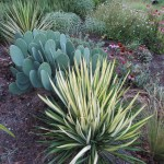 Yucca, cactus and other drought tolerant plants