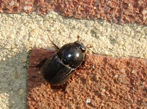 Sugarcane Beetle on brick wall