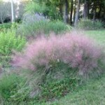 Pink Mulley grass in bloom