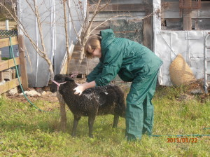 Washing a Lamb