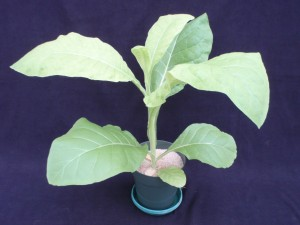 Figure 2. The symptoms of sulfur deficiency can be seen moving up the plant from the center foliage. This may help one in distinguishing between sulfur deficiency and nitrogen deficiency, which occurs first on the lower foliage. ©2016 Forensic Floriculture