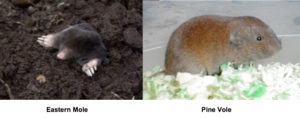 Picture of eastern mole and pine vole