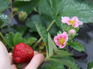 Picture of strawberry plant with hand holding a ripe, red strawberry and a cluster of blooms in light pink with dark pink center