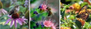 left picture of hummingbird perched on purple blooming flower, middle picture is of a honey bee eating on a pink bloom with deep purple blooms around, and right picture is a monarch butterfly on a yellow bloom with other yellow blooms in the background