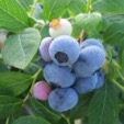 cluster of ripe blueberries ready to be picked off plant