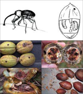 Pecan Weevil and what pecans look like