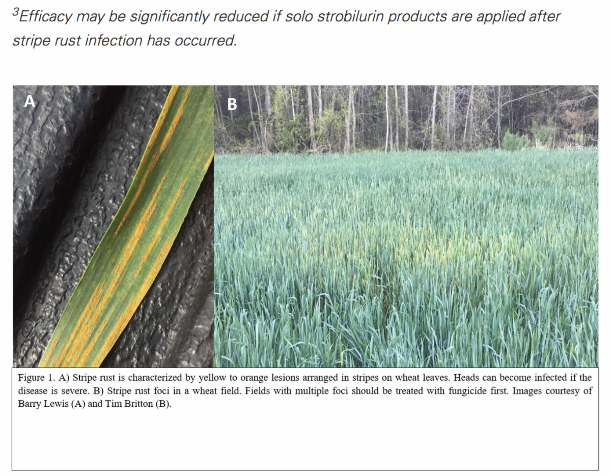Figure 1 A) Stripe rust is characterized by yellow to orange lesions arranged in stripes on wheat leaves. Heads can become infected if the disease is severe. Figure 1 B) Stripe rust foci in a wheat field. Fields with multiple foci should be treated with fungicide first. Images courtesy of Barry Lewis (A) and Tim Britton (B).