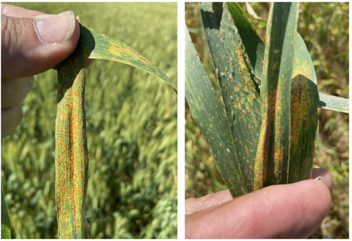 Image A) upclose wheat leaf with multiple yellow and orange colored spots (Stripe Rust) Image B) Multiple wheat leaves with Stripe Rust