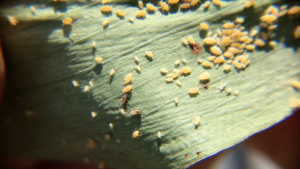 many aphids on the underside of a leaf