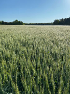 wheat field with blue sky in background and tree line