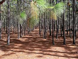 Pine trees with ground covered with pine straw