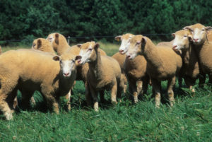 Group of sheep in pasture
