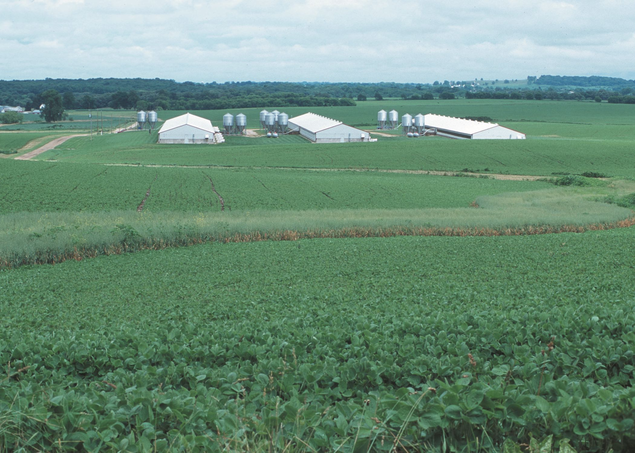 Farm scene with soybeans in foreground and swine barns behind
