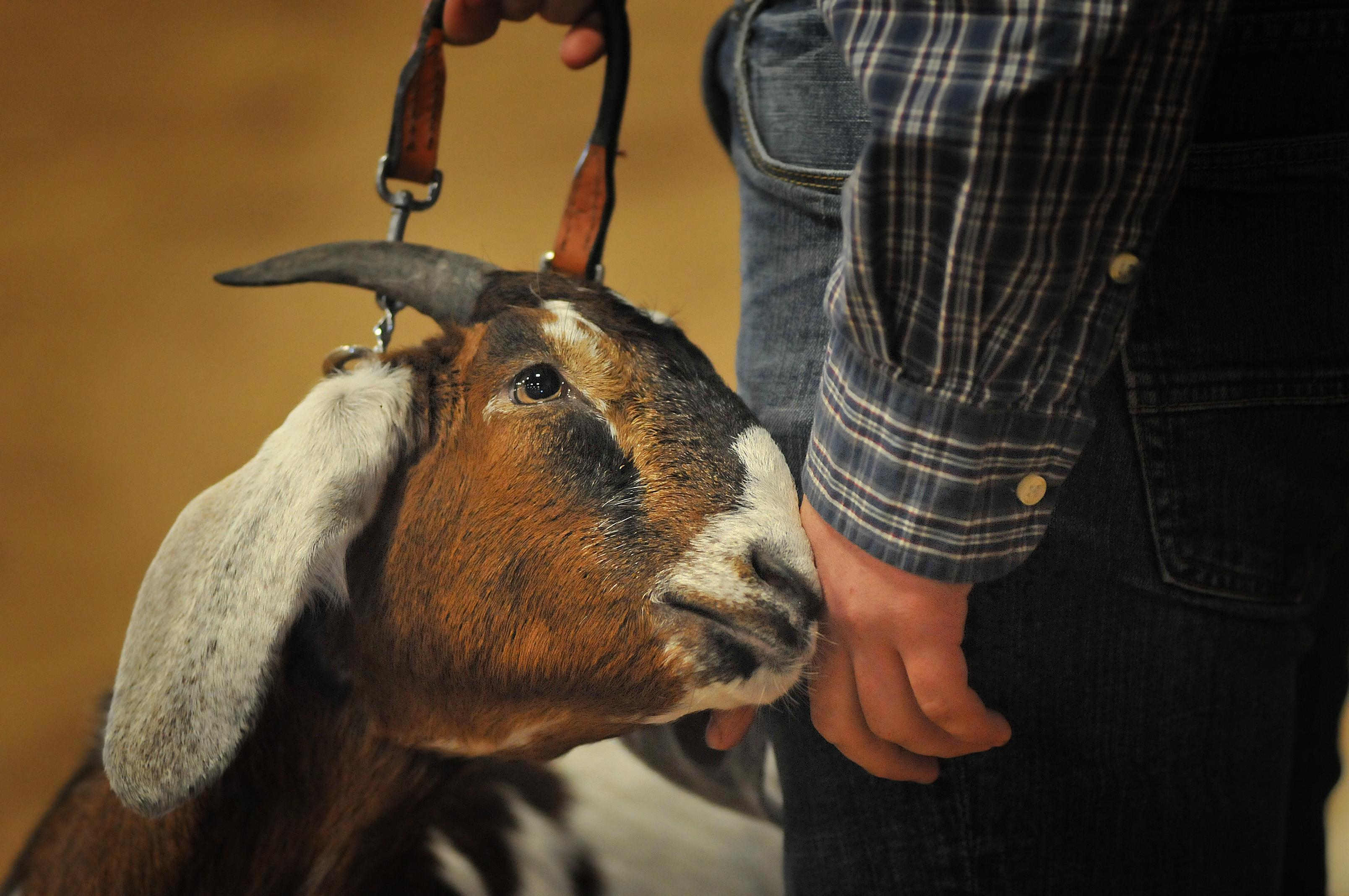 Show goat