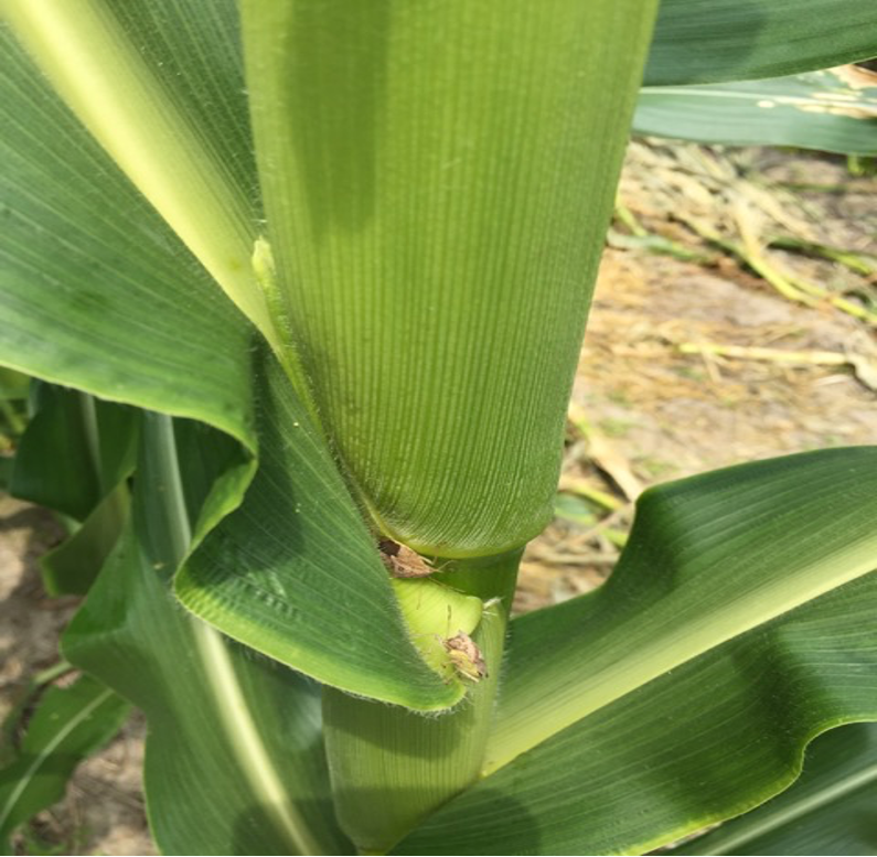 picture of corn stalk with stink bugs present