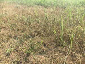 Cover photo for Fall Armyworms on the Move in Johnston County